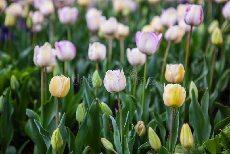 De lente bloeit tulpen in de tuin royalty-vrije stock foto