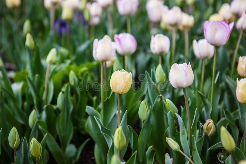 De lente bloeit tulpen in de tuin stock afbeelding