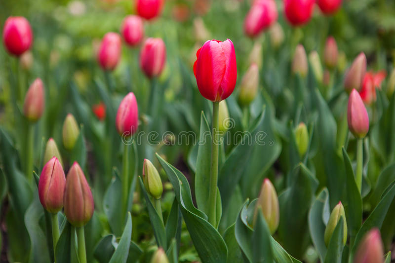 De lente bloeit tulpen in de tuin royalty-vrije stock fotografie