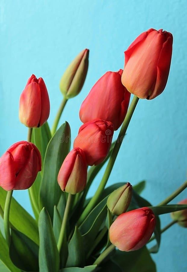 De lente bloeit tulpen stock afbeeldingen
