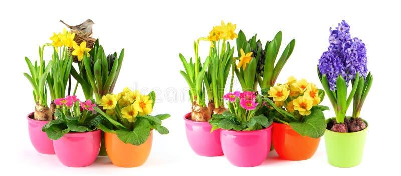 De lente bloeit de witte gele narcissen van achtergrondhyacintprimula's royalty-vrije stock afbeelding