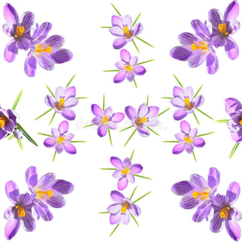 De lente bloemen naadloos patroon met violette gestreepte crokuses op een witte achtergrond stock illustratie