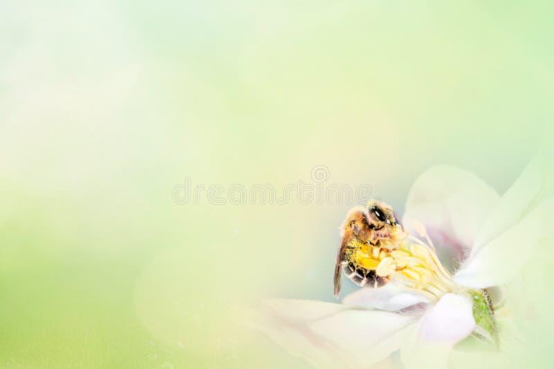 De lente bloemenachtergrond met bloeiende kersentak en bij op een groen lichtachtergrond in aard in openlucht, macro De lente stock fotografie