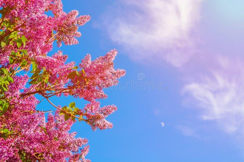 De lente bloemenachtergrond - purpere tot bloei komende seringenbloemen tegen blauwe hemel stock foto's