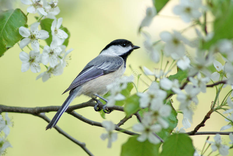 De lente Chickadee royalty-vrije stock foto