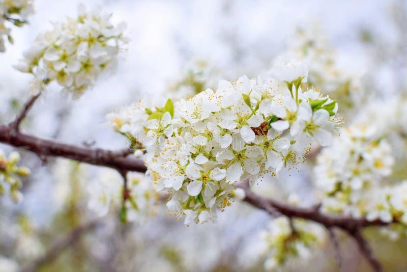 De lente crabapple bloesems dicht op een tak stock afbeeldingen