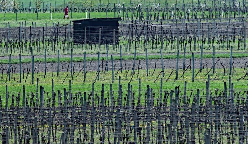 De lente in de boomgaarden en de wijngaarden van Zuid-Moravië royalty-vrije stock foto
