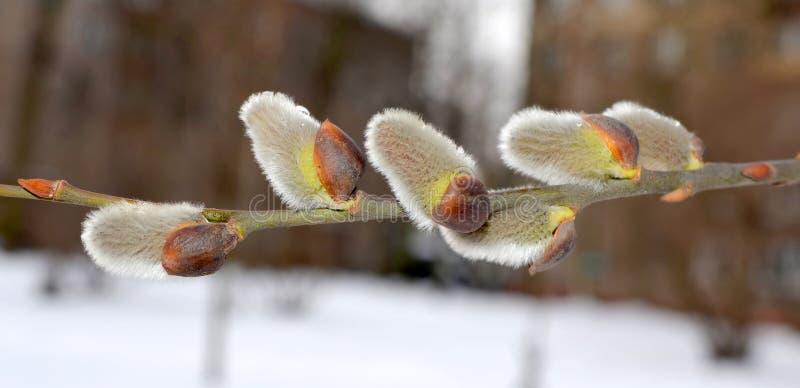 De lente in de stad. eerste knoppen. royalty-vrije stock afbeeldingen
