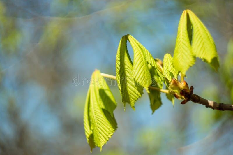 De lente De eerste bladeren en de knoppen op een close-up van de boomtak, op een vage achtergrond Zachte nadruk De ruimte van het royalty-vrije stock foto's