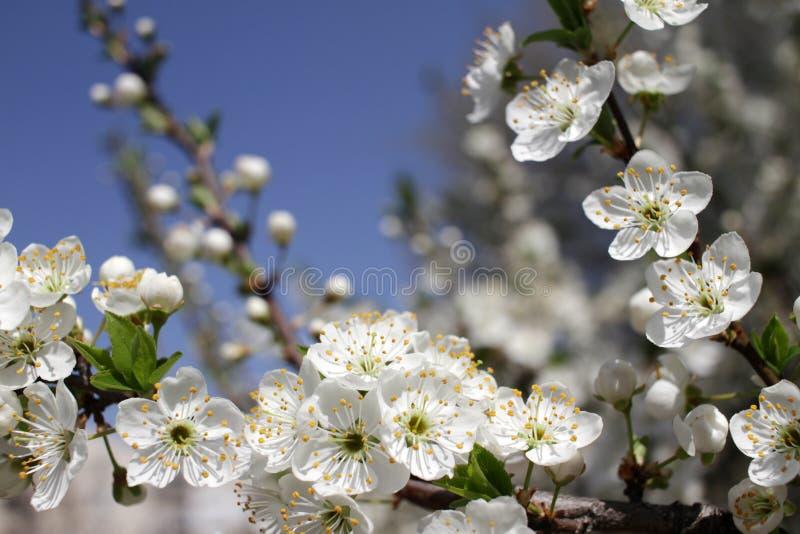 De lente en bloeiende boom royalty-vrije stock afbeeldingen