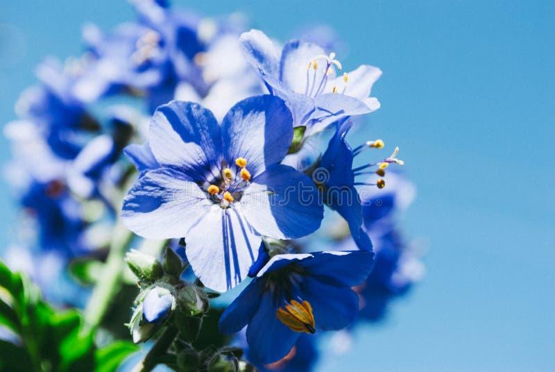 De lente en de zomer het bloeien viooltjes Blauwe hemelachtergrond stock afbeeldingen