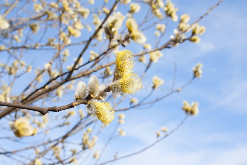 De lente gebloeide wilgentakken op een zonnige achtergrond stock afbeeldingen