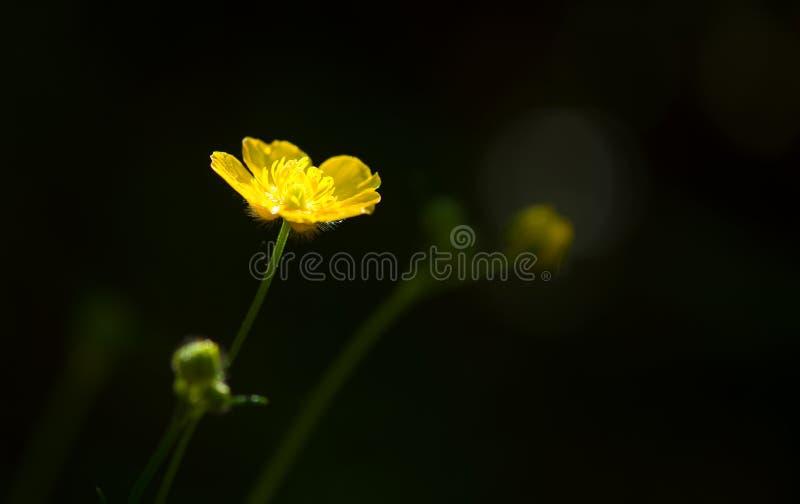 De lente gele bloem over zwarte achtergrond royalty-vrije stock foto's