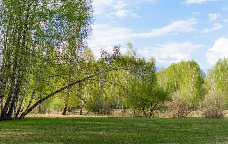De lente groen bos op een Zonnige dag stock foto's