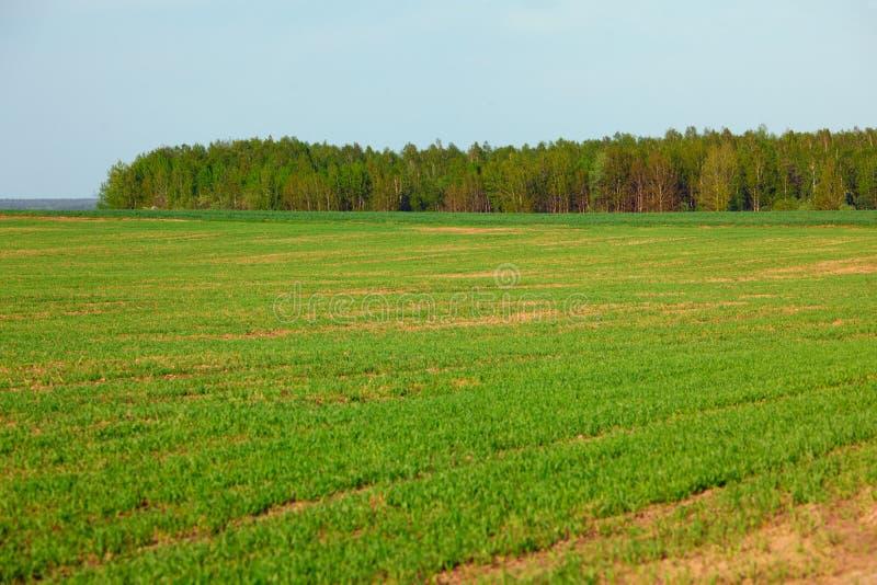 De lente groen gebied van gewassen en bosje stock foto