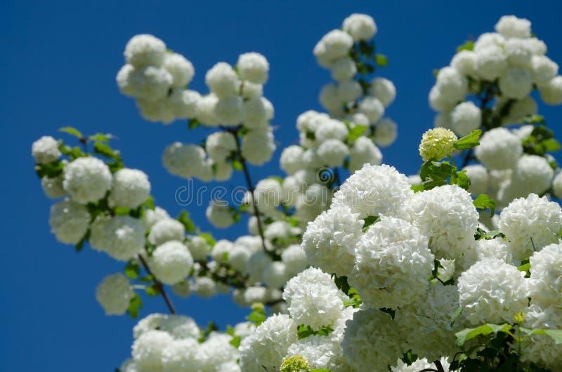 De lente Guelder nam, Viburnum-opulus witte bloemen in een sneeuwbalvorm toe stock afbeelding