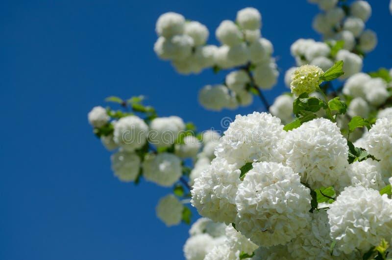 De lente Guelder nam, Viburnum-opulus witte bloemen in een sneeuwbalvorm toe stock foto