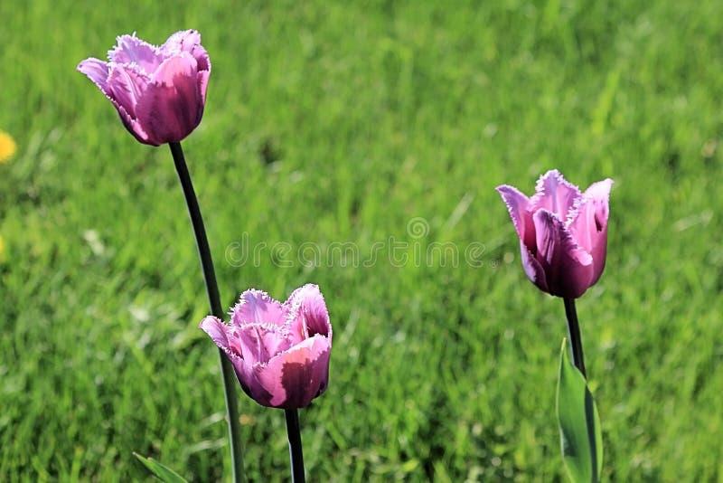 De lente heldere tulpen op het gazon royalty-vrije stock foto's