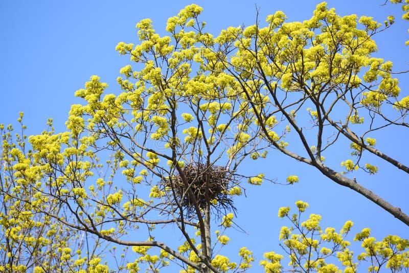 De lente Het aas kraait een nest op takken van de tot bloei komende esdoorn royalty-vrije stock foto's