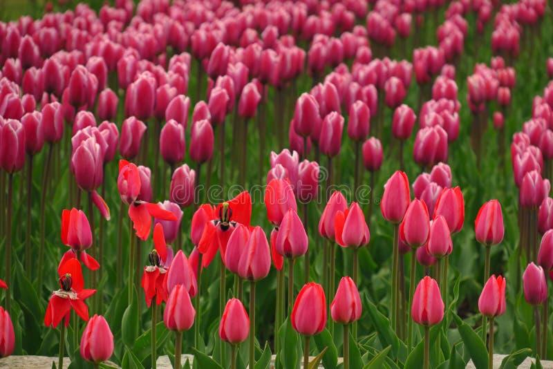 De lente het bloeien roze tulpenmening Tulpen in de lente bloeiende tuin Bloeiende roze tulpenbloemen in de lente Het roze van de royalty-vrije stock afbeeldingen