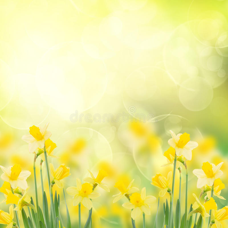 De lente het groeien gele narcissen in tuin stock afbeelding