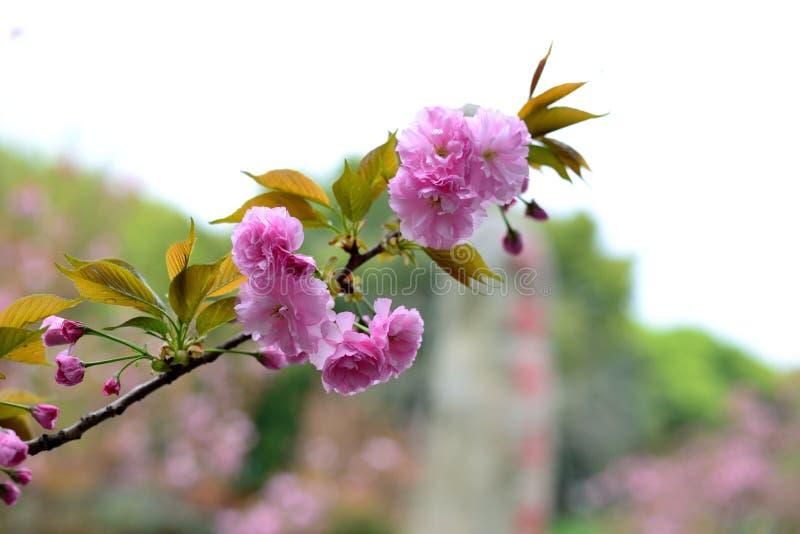 De lente, het landschap van het kersenpark stock foto's
