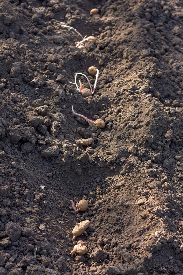 De lente het planten van aardappelknollen in grond stock afbeelding