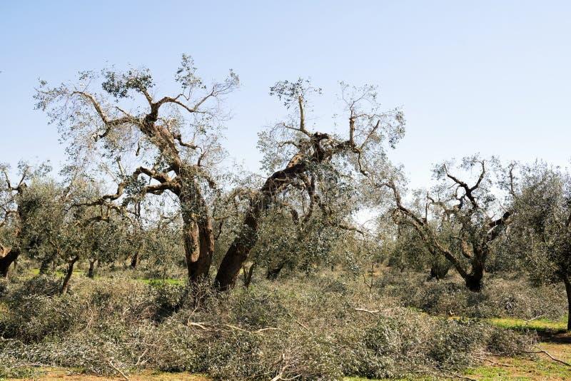 De lente het snoeien van olijfbomen noodzakelijk voor het regenereren van de takken om te groeien zodat meer, landbouw kunnen bin stock afbeeldingen