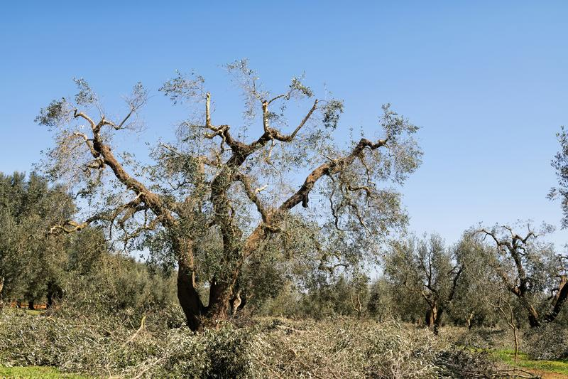 De lente het snoeien van olijfbomen noodzakelijk voor het regenereren van de takken om te groeien zodat meer, landbouw kunnen bin royalty-vrije stock foto