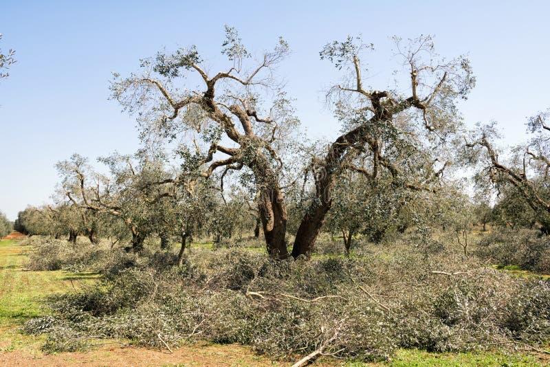 De lente het snoeien van olijfbomen noodzakelijk voor het regenereren van de takken om te groeien zodat meer, landbouw kunnen bin royalty-vrije stock fotografie