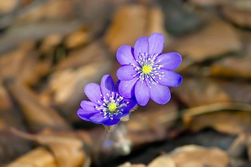 De lente het wekken, bloemen van liverwort in de lente, Hepatica-nobilis, Anemoonhepatica stock afbeelding