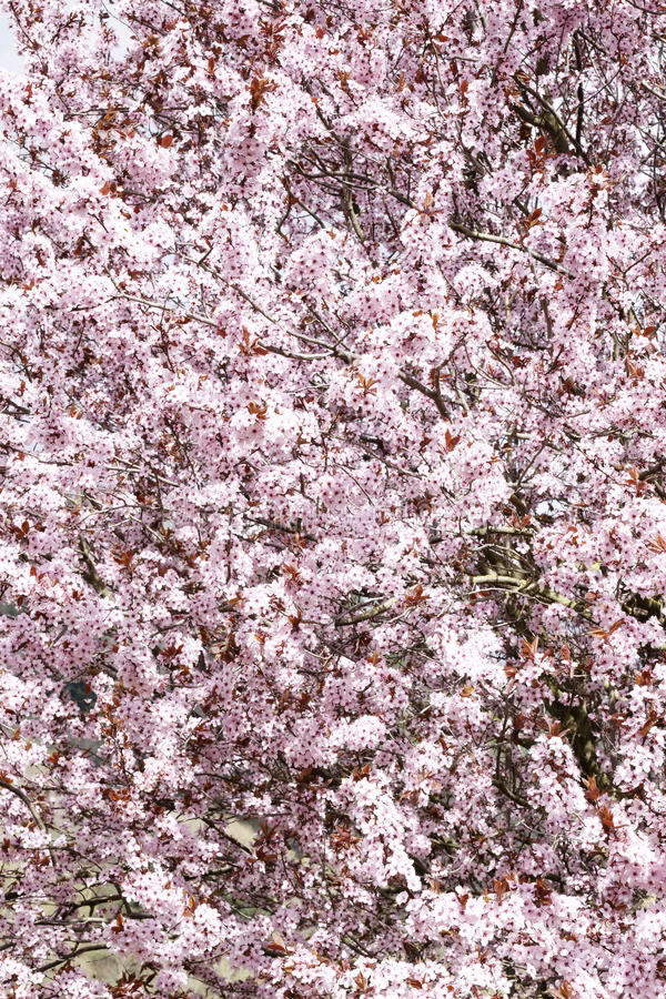 De lente komt Roze tot bloei stock foto