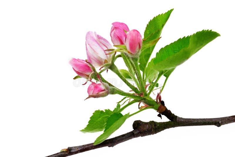 De lente komt de tak van de appelboom met groene bladeren tot bloei stock foto's
