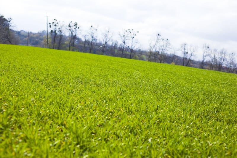 De lente landbouw groene gebieden van jonge tarwegewassen grasgebied van tarwekiem stock afbeeldingen