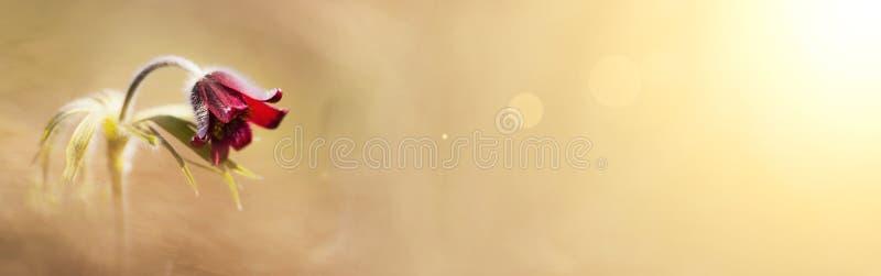 De lente, de lenteconcept - de rode banner van de anemoonbloem royalty-vrije stock afbeeldingen