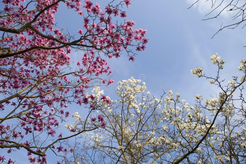 De lente in Londen Magnolia ` Leonard Messel `, Roze bloem en knop die op boom openen royalty-vrije stock foto