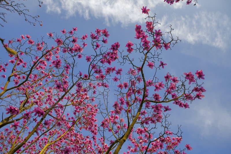 De lente in Londen Magnolia ` Leonard Messel `, Roze bloem en knop die op boom openen royalty-vrije stock afbeeldingen