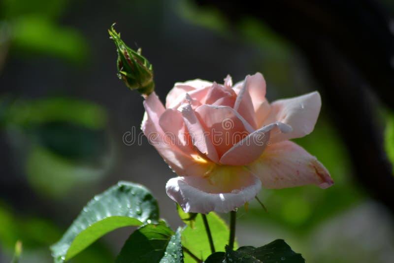 De lente met oranje rozen stock fotografie
