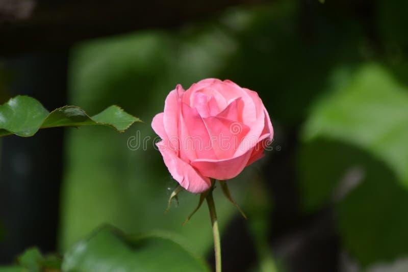 De lente met roze rozen royalty-vrije stock foto