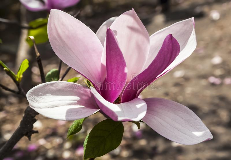 De lente, mooie roze Magnoliabloem royalty-vrije stock afbeeldingen