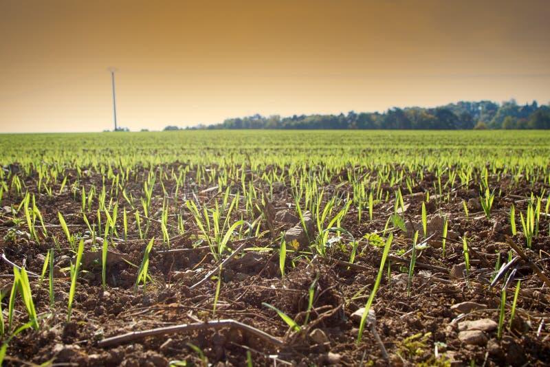 De lente op Noordelijke landbouwbedrijven Spruiten van de wintergewassen op het gebied royalty-vrije stock fotografie