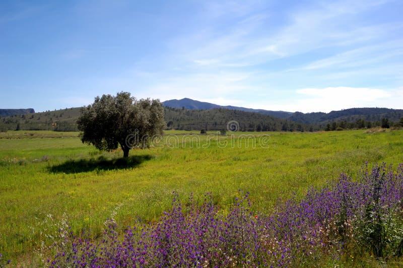 De lente: oude olijfboom en wildflowers royalty-vrije stock afbeelding
