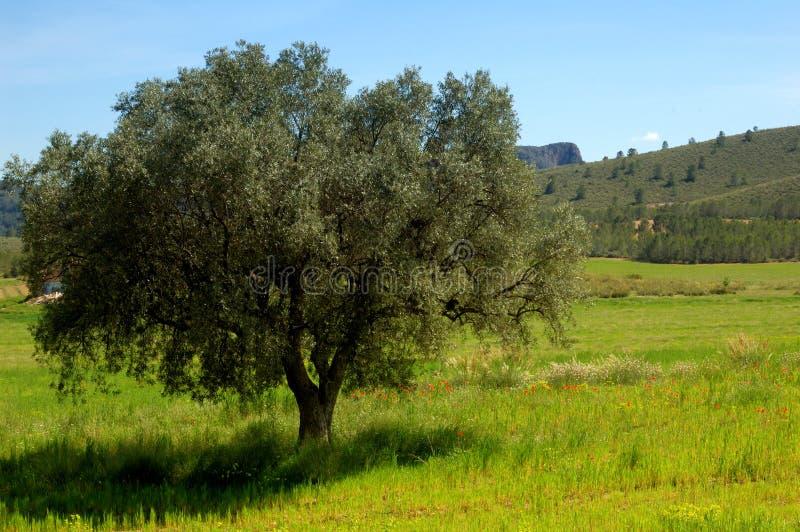 De lente: oude olijfboom en wildflowers stock foto's
