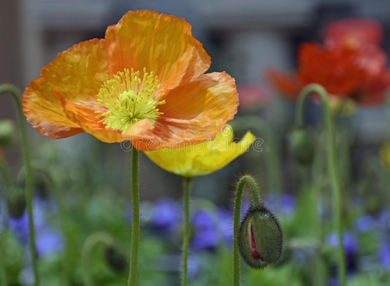 De lente Poppys in warme Zonneschijn royalty-vrije stock foto's