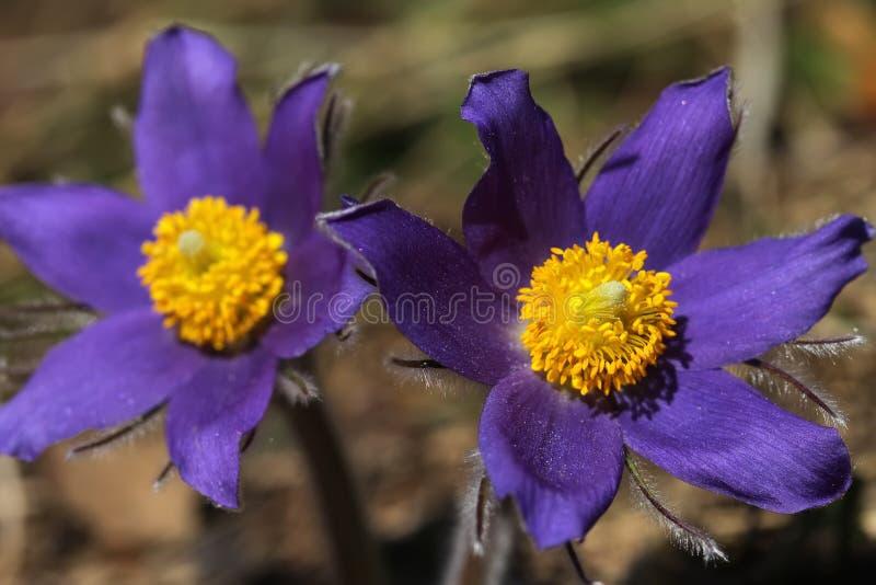 De lente purpere bloemen pasqueflower Pulsatilla patens royalty-vrije stock afbeeldingen