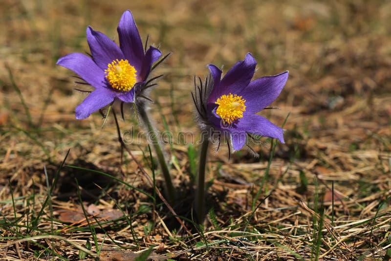 De lente purpere bloemen pasqueflower Pulsatilla patens stock foto's