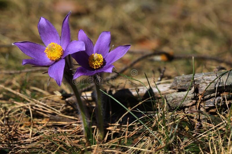 De lente purpere bloemen pasqueflower Pulsatilla patens royalty-vrije stock fotografie