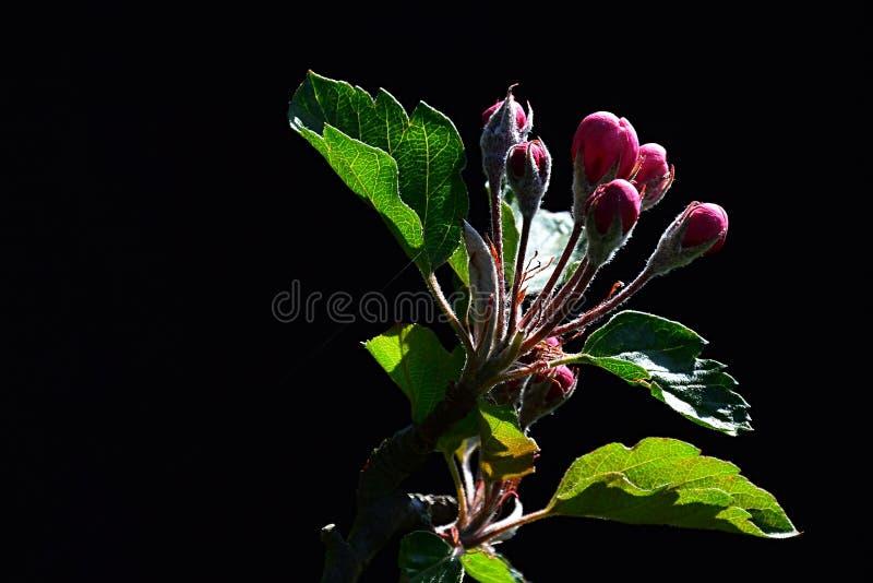 De lente purpere knoppen die van bloemen op appelboom Malus Domestica, op donkere achtergrond zonnebaden royalty-vrije stock foto