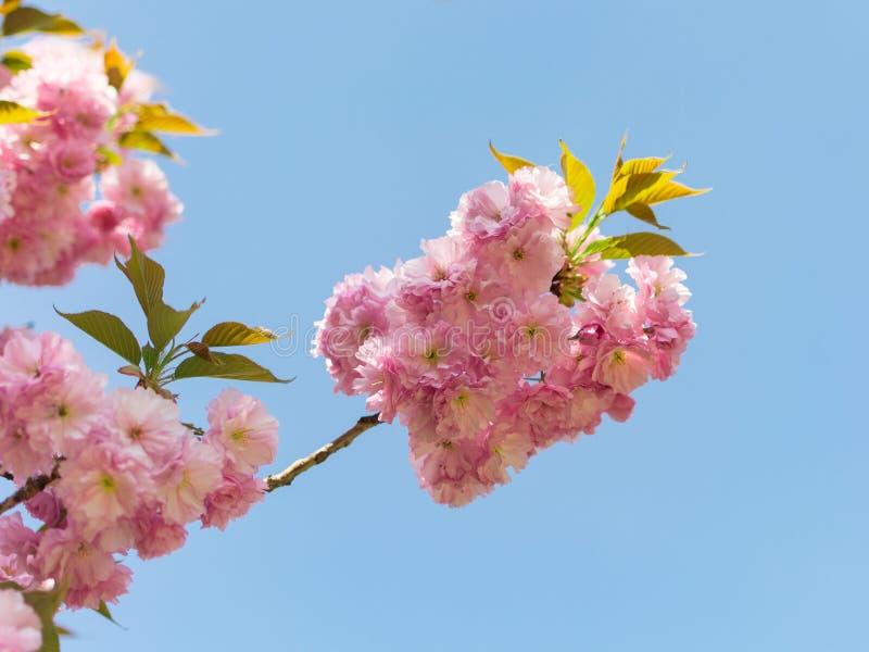 De lente roze bloemen op de tak van bloeiende Chinese pruim stock foto
