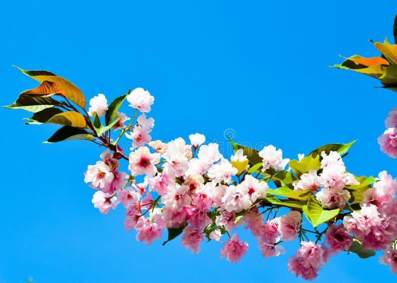 De lente Roze Cherry Blossoms met Blauwe Hemelachtergrond royalty-vrije stock foto's